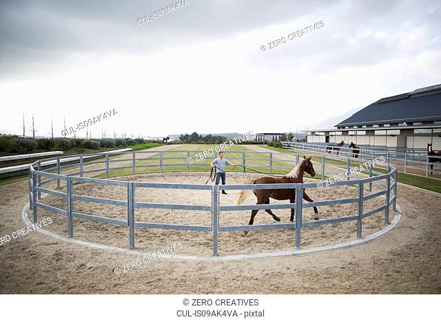 Male stablehand training palomino horse around paddock ring
