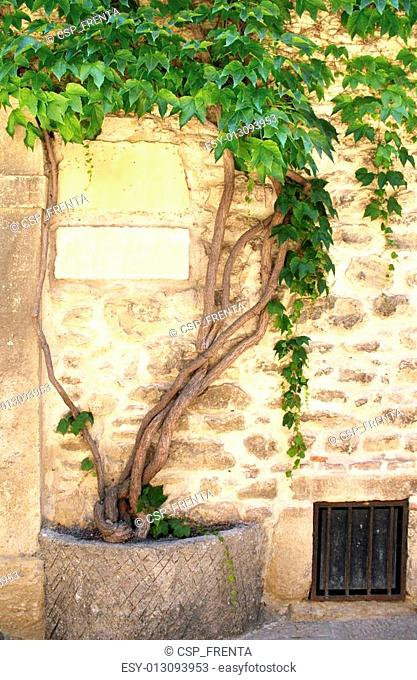 Grapevine and the ancient wall