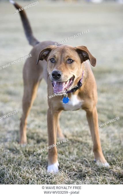 Brown mixed breed dog ready to play, Canada, Alberta