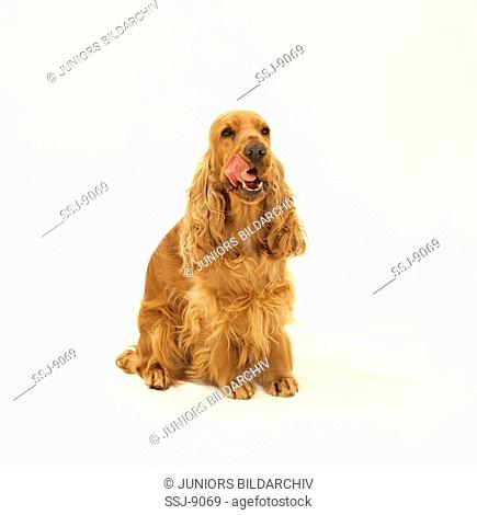 Cocker Spaniel - licking its mouth