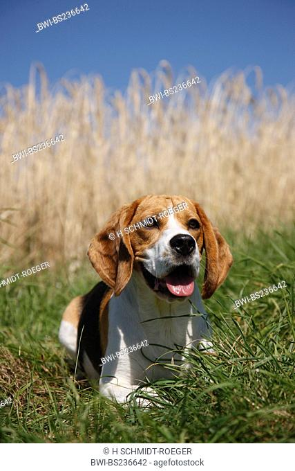 Beagle Canis lupus f. familiaris, sitting in the grass at the edge of a ripe grain field