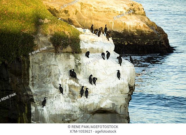 Brandt's Cormorants roosting and nesting on a rocky sea cliff near a kelp forest adjacent to Natural Bridges State Beach, in Santa Cruz, California