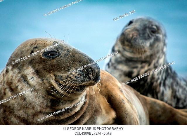 Grey seals (Halichoerus grypus), Great Blasket Island, Dingle, Kerry, Ireland