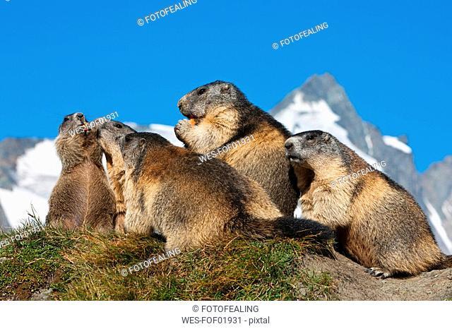 Austria, Grossglockner, Alpine Marmots Marmota marmota