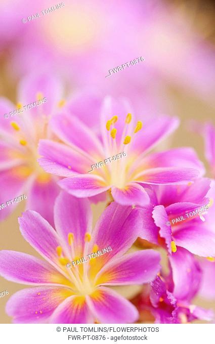 Lewisia, Siskiyou lewisia, Lewisia Cotyledon Hybrids, close up of purple flowers