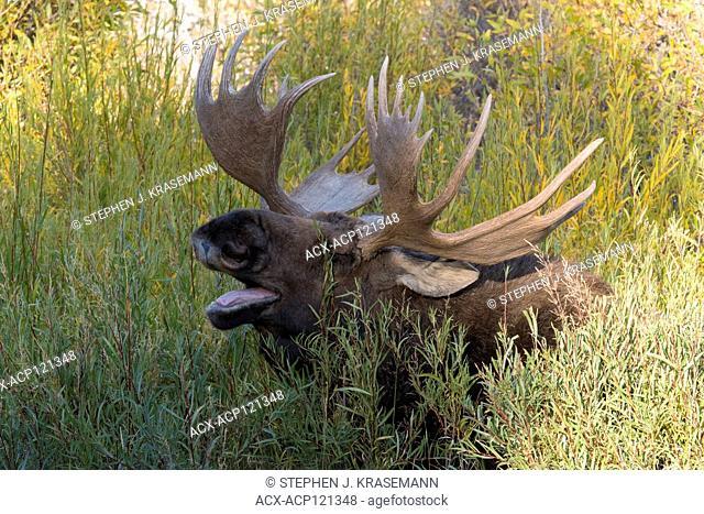 Yawning Bull Shiras Moose (Alces alces sherasi), Grand Teton National Park, Wyoming., autumn