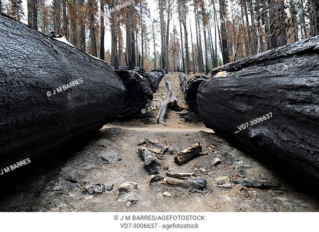 Giant sequoia or giant redwood (Sequoiadendron giganteum) is a big tree native to Sierra Nevada, California, USA. Burned trees after a forest fire