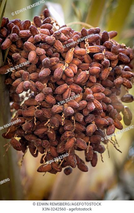 Bunch of dates (Phoenix dactylifera) growing on branch of date palm tree, Tighmert Oasis, Morocco