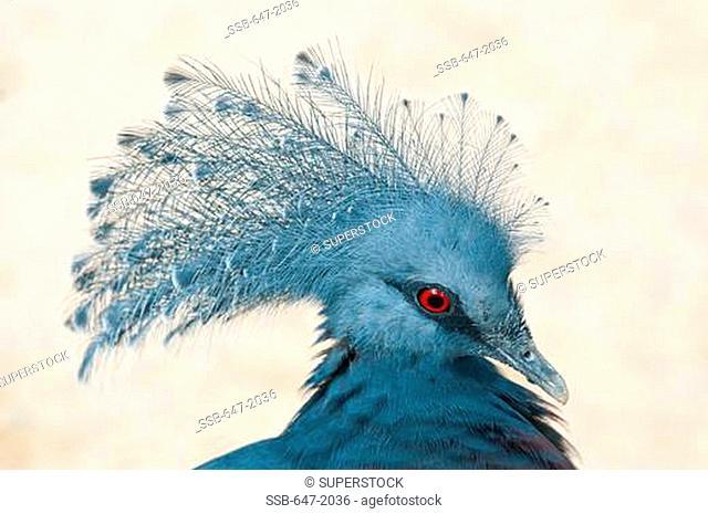 Victoria Crowned Pigeon Goura victoria