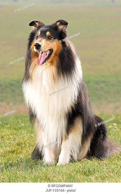 Collie sitting on meadow