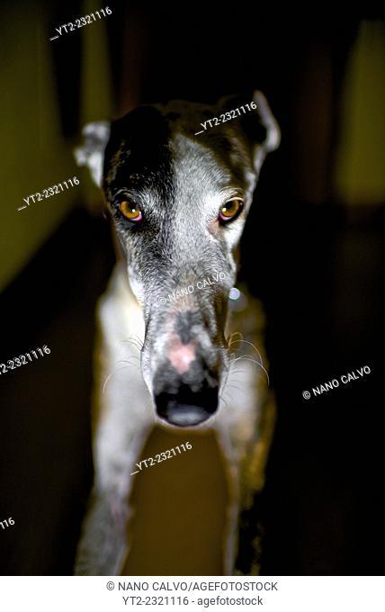 Interior portrait of adult Spanish Greyhound