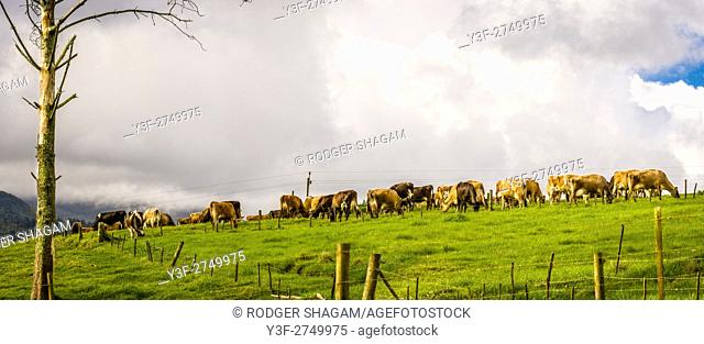 Cows in the meadow - home time. Milking time. Western Cape Province, South Africa