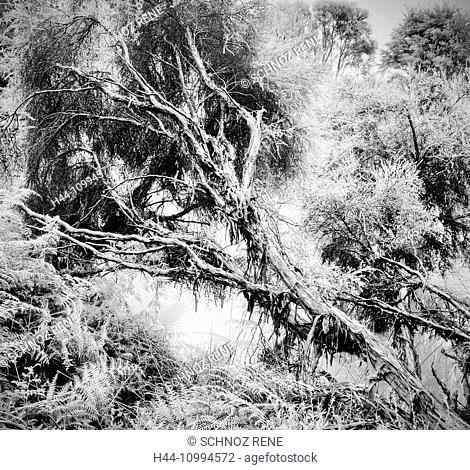 Rotorua, New Zealand, north island, tree, dead tree, jungle, rain forest, nature, primeval forest, black and white, Mystical, mood, scenery, landscape