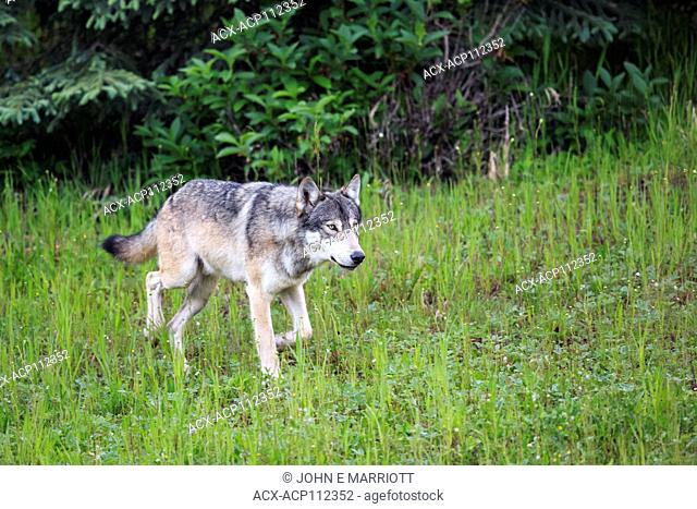 Gray wolf or Grey wolf, Canis lupus, Canadian Rockies, Alberta,  Canada