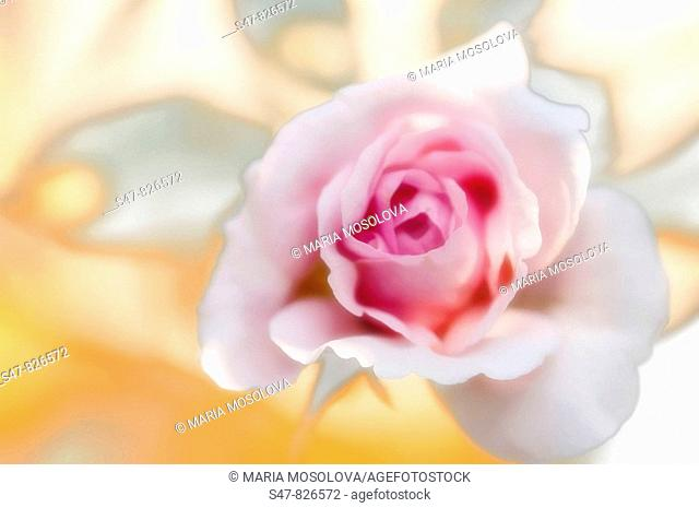 Pink Rose Flower. Rosa hybrid