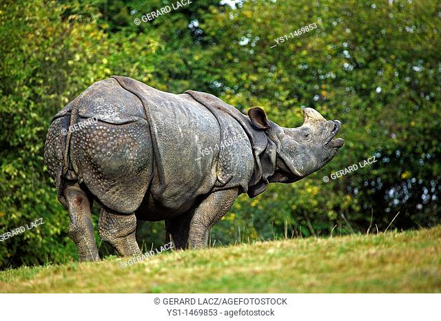 Indian Rhinoceros, rhinoceros unicornis, Adult Flehming