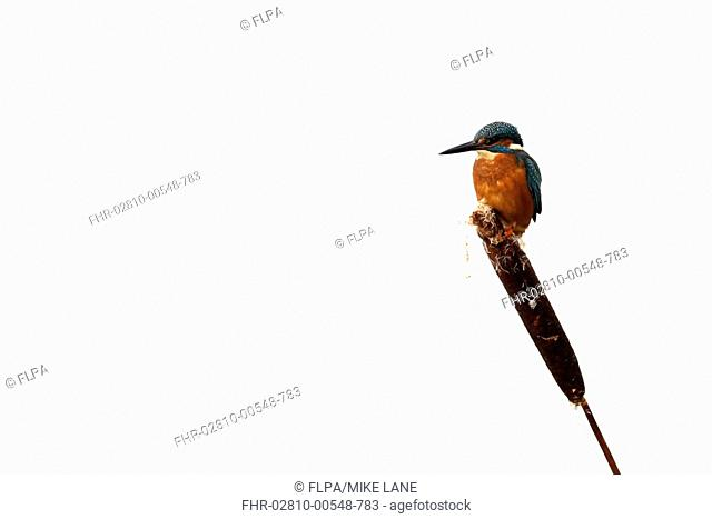 Common Kingfisher Alcedo atthis adult, perched on reedmace seedhead in snow, Midlands, England, december
