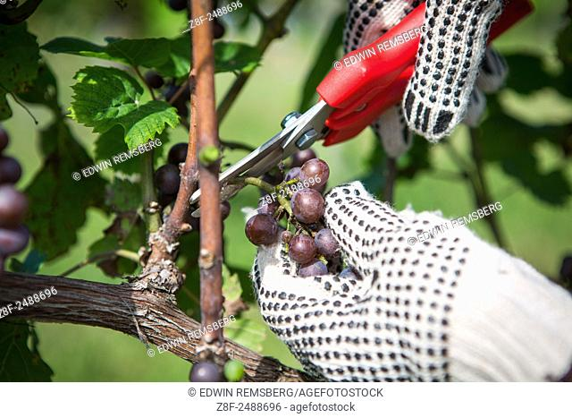 Hands with gloves cutting purple wine grapes off vine