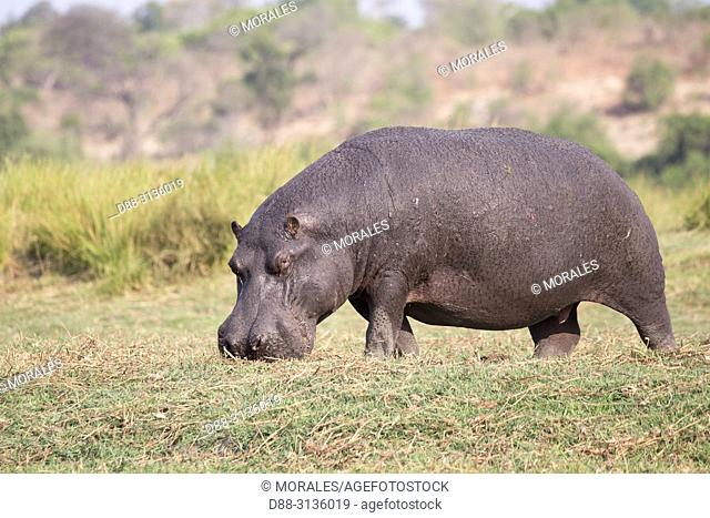 Africa, Southern Africa, Bostwana, Chobe i National Park, Chobe river, Common hippopotamus or Hippo (Hippopotamus amphibius), eating grass outside of the water