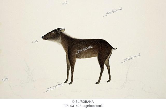 Serow 'Capricornis Sumatraensis' Bachstein. From an album of 51 drawings of birds and mammals made at Bencoolen, Sumatra, for Sir Stamford Raffles