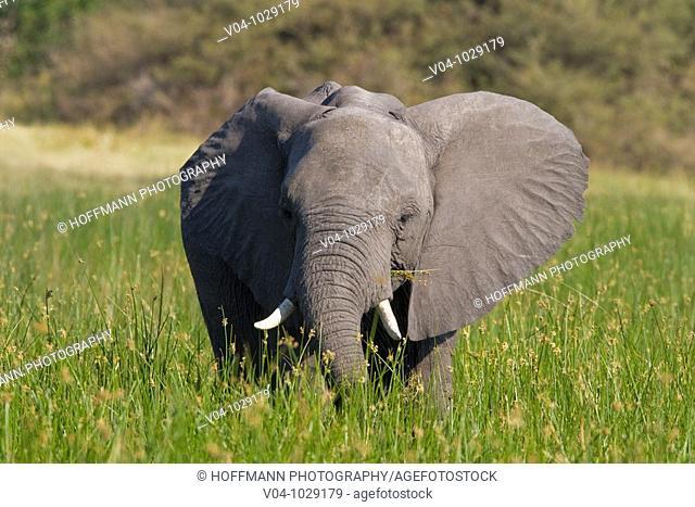 African elephant (Loxodonta africana) in tall grass in Botswana, Africa