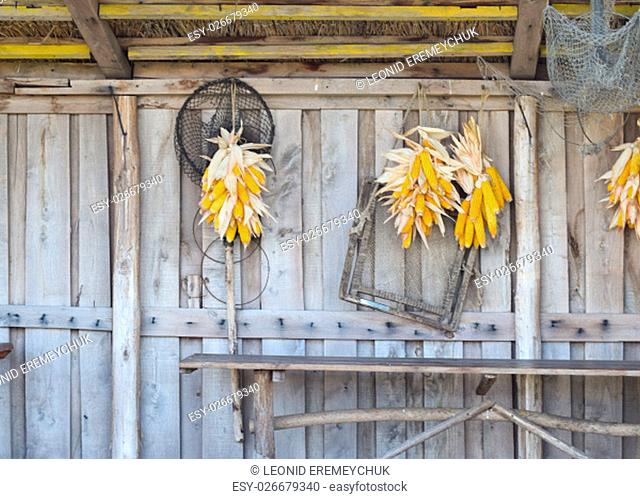 Ripe corn cob drying on the wooden wall. Storage maize