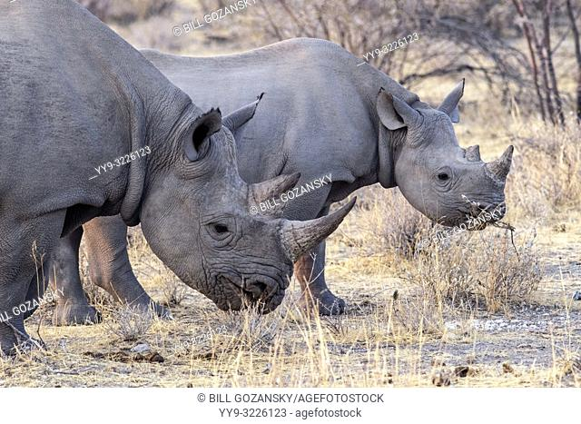 Black Rhino (Diceros bicornis) mother and calf - near Etosha National Park, Namibia, Africa
