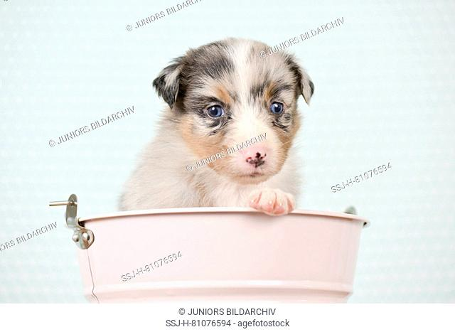 Australian Shepherd. Puppy (4 weeks old) in a pink bucket. Studio picture. Germany