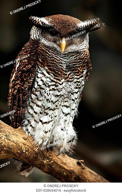 Barred Eagle Owl, Bubo sumatranus, Malaysia