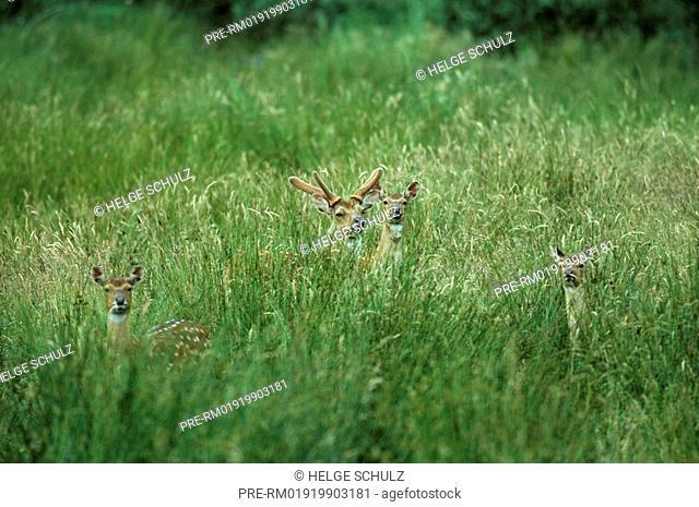 Sika Deer, male & doe's Dybowski, Cervus nippon, Cervus nippon hortulorum