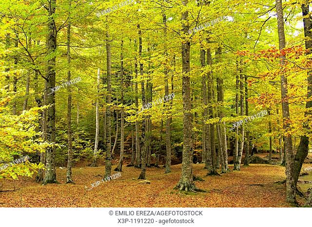 Forest  Pyrenees  Spain