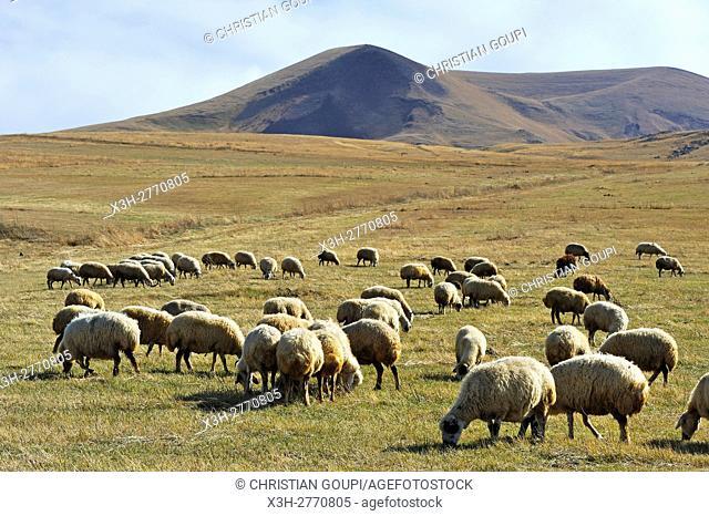 flock of sheep on the Argitchi plateau, Armaghan volcano in the background, Gegharkunik region, Armenia, Eurasia