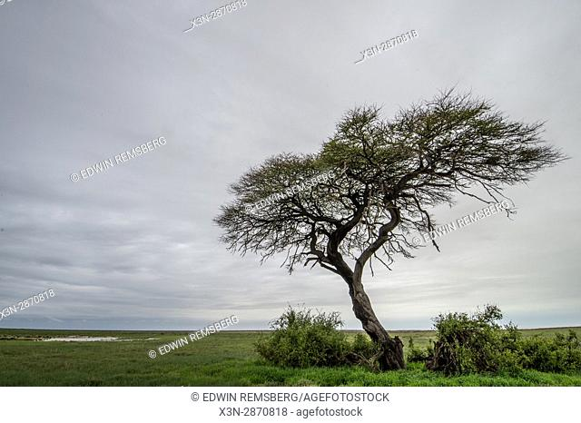 Umbrella thorn acacia tree in the grasslands of Etosha National Park, located in Namibia, Africa