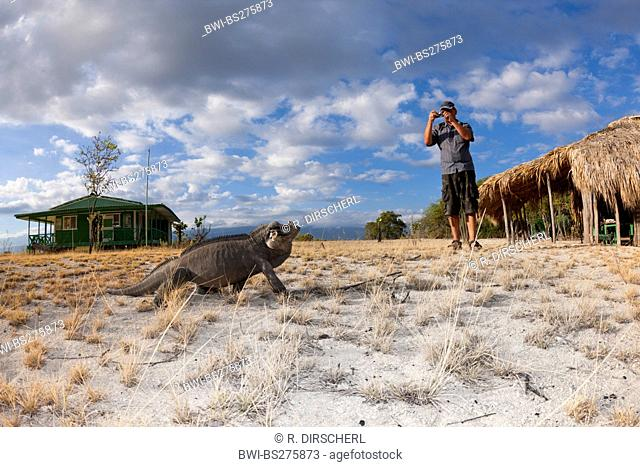 rhinoceros iguana (Cyclura cornuta), sitting on sand ground close to dwellings being pictured by a tourist, Dominican Republic