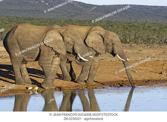 African bush elephants (Loxodonta africana), two adult males, drinking at a waterhole, Addo Elephant National Park, Eastern Cape, South Africa, Africa