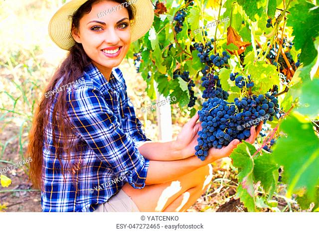 Young Woman harvesting grapes in vineyard during harvest season, close up. Harvesting the grapes