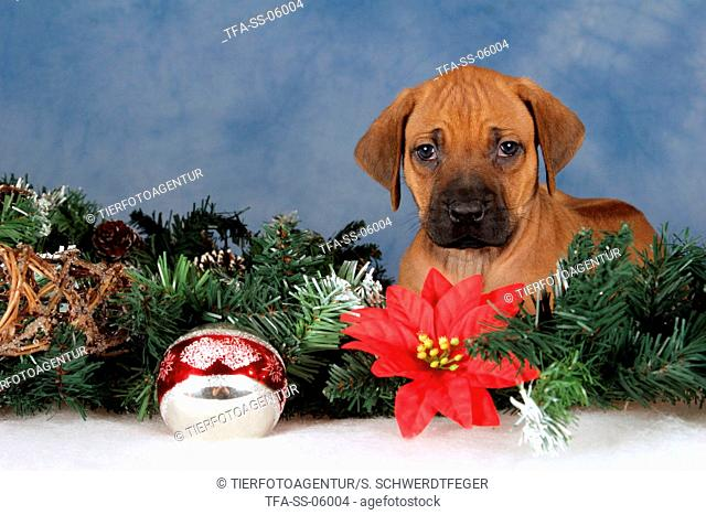 Rhodesian Ridgeback puppy at christmas