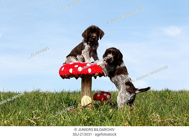 Korthals Griffon. Two puppies on and next to a big Fly Agaric on a meadow. Germany