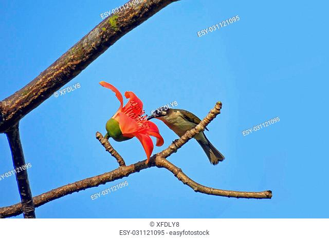 Flower bombax ceiba Stock Photos and Images | age fotostock