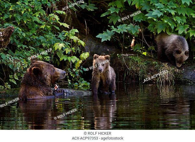 Coastal Grizzly bear sow with two cubs foraging in a small forest stream, Knight Inlet, British Columbia, Canada