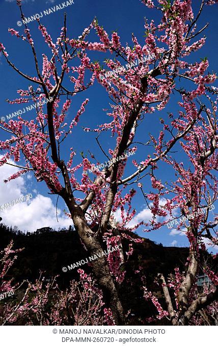 peach tree, kasauli, himachal pradesh, India, Asia