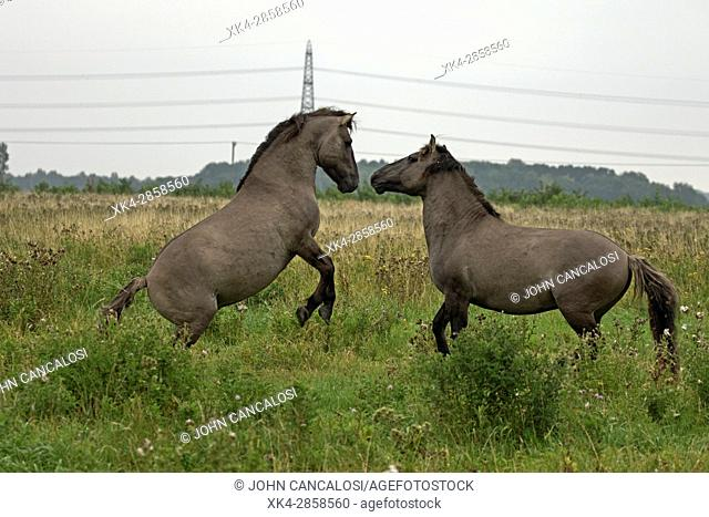 Konik ponies, Polish primitive horse, UK, The view that the Polish Konik is the most recent descendant of the European wild horse, and resembling it, as well