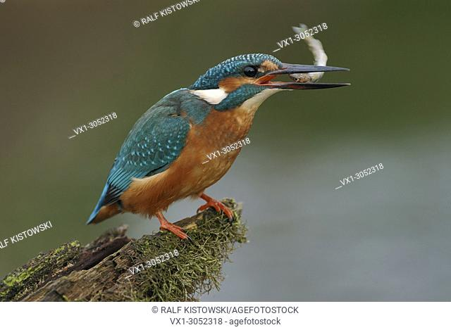 Common Kingfisher ( Alcedo atthis ) eating a fish with its head first, wildlife, Europe