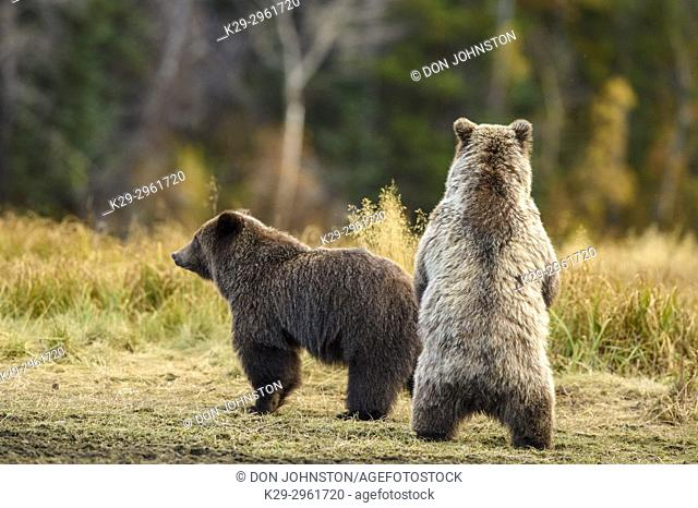 Grizzly bear (Ursus arctos)- Siblings standing to observe potential danger, Chilcotin Wilderness, BC Interior, Canada