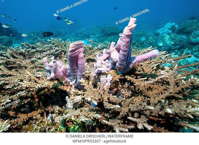 Pink Sponge in Coral Reef, Porifera, Tanimbar Islands, Moluccas, Indonesia