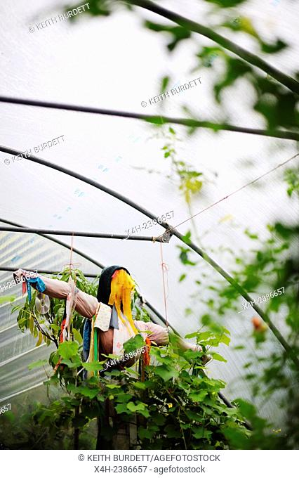 Female scarecrow tied with coloured rags in a polytunnel, Wales, UK