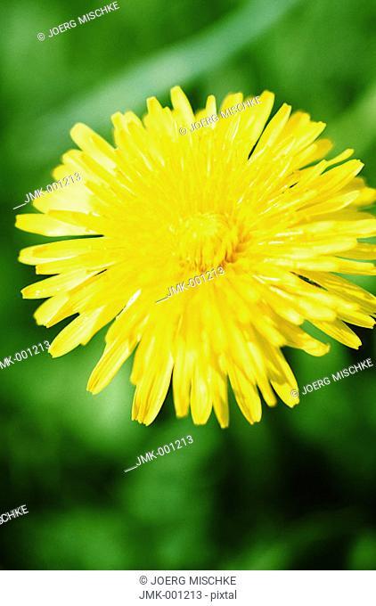 A dandelion in the meadow