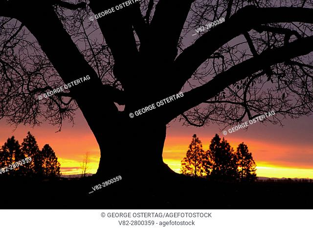 Oregon oak (Quercus garryana) sunrise, Willamette Mission State Park, Marion County, Oregon