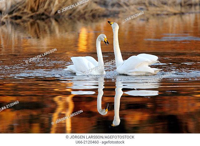 Whooper Swan (Cygnus cygnus), Skåne, Sweden