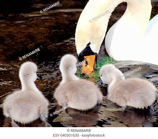 New baby swans watch their mother as she eats a piece of lettuce in the water